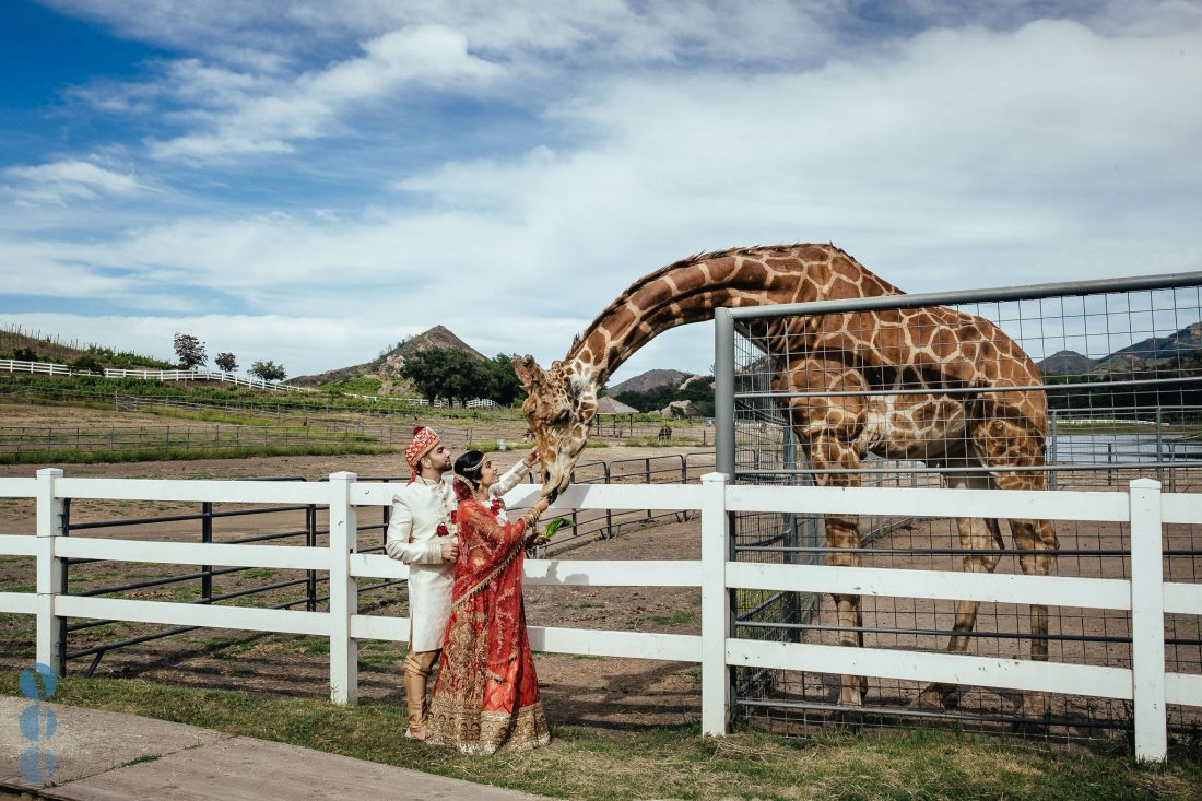 Wedding photos with a giraffe from Amish and Megna's Indian Wedding at Saddlerock Ranch in Malibu, CA